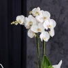 Orhidee Albă cu 2 Crengi