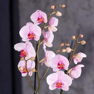 Orhidee Roz cu 2 Ramuri