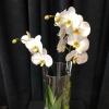 orhidee in vaza tub