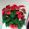 Poinsettia-Floarea Craciunului