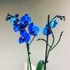 Orhidee Albastră