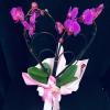 Orhidee Inimă în Ghiveci